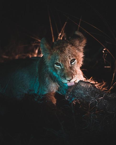 Norris Niman outdoor wildlife photos Wix lion cub