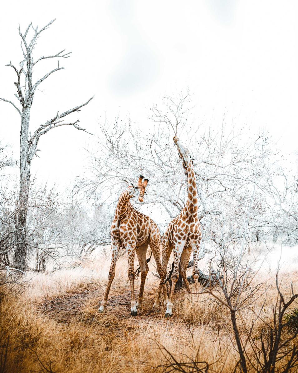 Norris Niman outdoor wildlife photos Wix giraffes