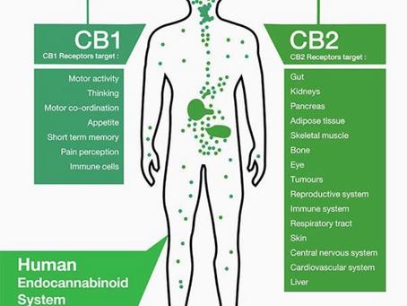 CBD & Endocannabinoid System