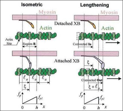 Perturbed Equilibria of Myosin Binding