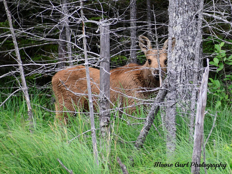 Where To See Moose In Maine