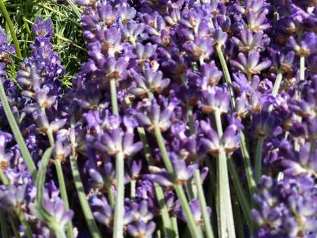 Fuseau de lavendar