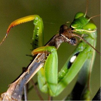 Oklahoma State, Comparative Psychology, and Praying Mantis Sex