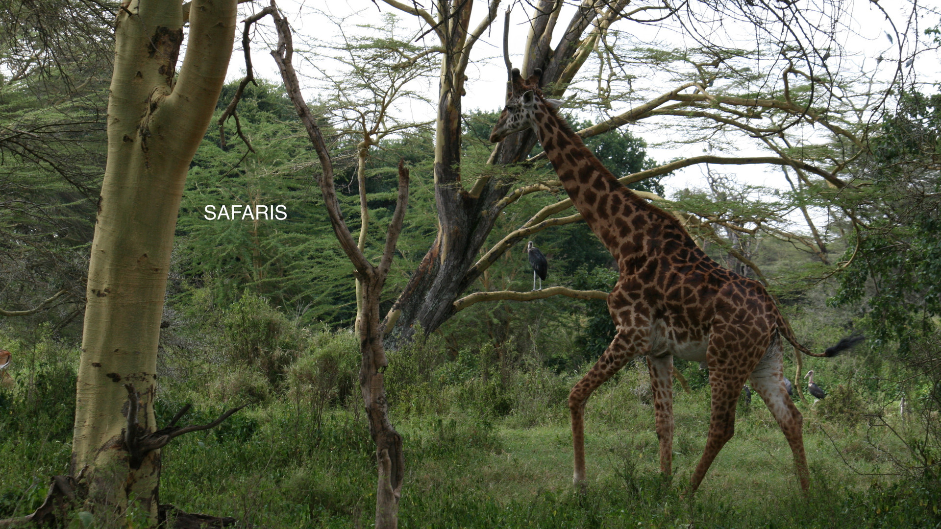 giraffe-in-trees.JPG