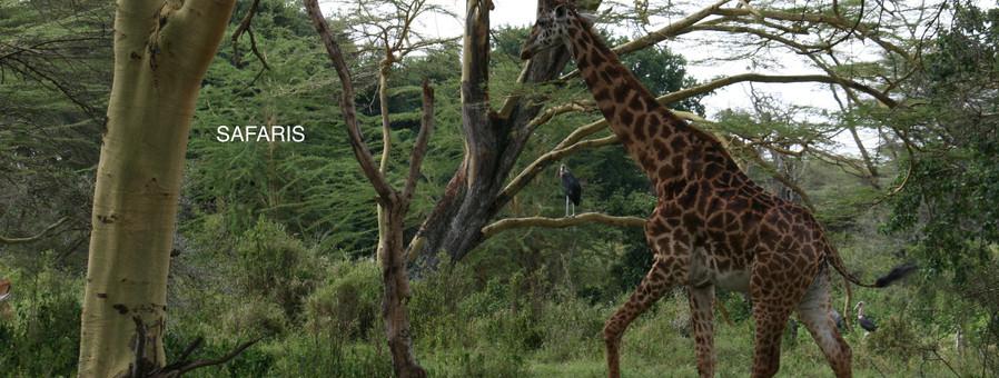giraffe-in-trees.JPG