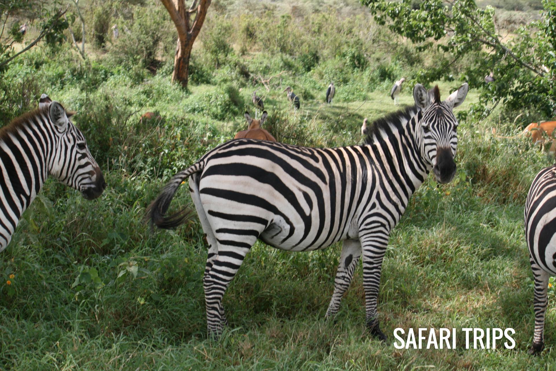 zebra-looking-at-camera_edited.JPG