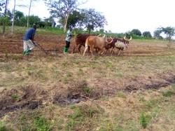 2 acres being plowed in Mwalwigi