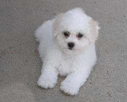 colorado-bichon-breeder