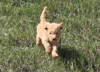So you want to own a golden doodle...what are the facts?