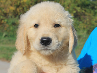 Golden Retriever - Is the breed for you?