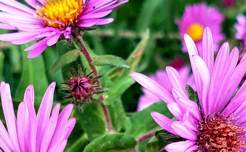 Spotted Cucumber Beetle on Asters
