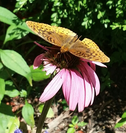 Great Spangled Fritillary on Conflower