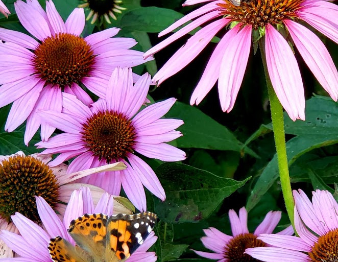 Things with Wings on Coneflowers