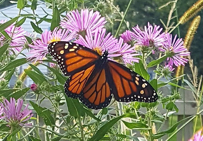 Monarch on Asters