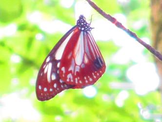 渡りの蝶・アサギマダラ