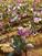 カタクリの花見頃です🌤