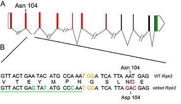 ripk2 gene structure.jpg