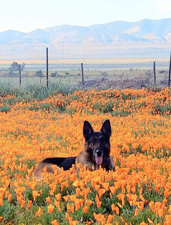 Gideon in the poppies
