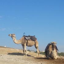 camels in the Judean desert