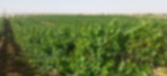Shefa Israel vineyards