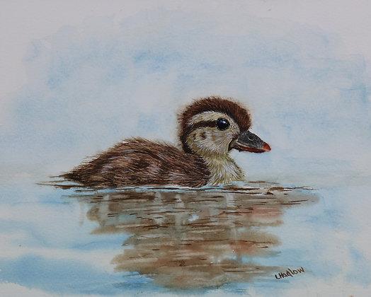 Wood Duck Duckling
