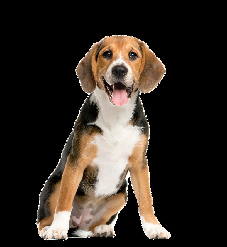 sitting-panting-beagles_edited.png