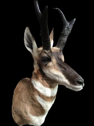 01 Antelope.png