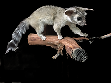 03 Ringtail Cat.bmp.png