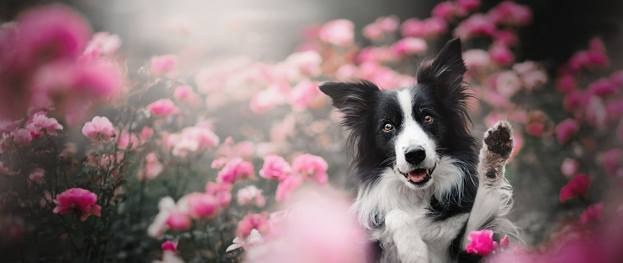 spring-border-collie.jpg