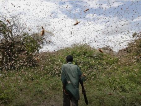 Utilizzare le locuste come cibo per animali? L'idea di una startup africana