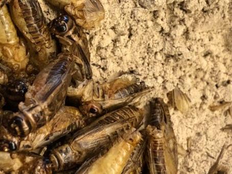 Una review sulla sostenibilità degli insetti come cibo per l'uomo e per altri animali