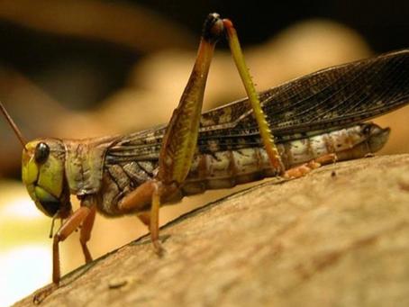 Gli esperti di Efsa hanno dato l'ok al consumo alimentare della locusta migratoria