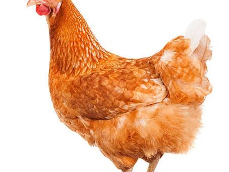 Insetti non solo per noi ma anche per i polli