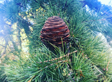 Pine Cones are the first sign of Winter