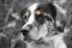 Photo of Harley, the dog behind Soul Dog Training