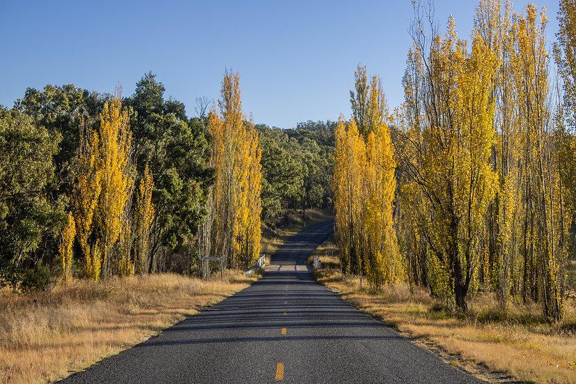 Into the Poplars
