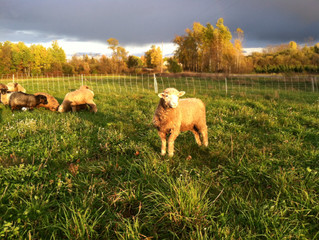 Lamb on a beautiful fall pasture.
