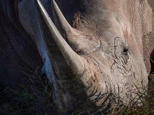 Sleepy Rhino, Etosha - Namibia