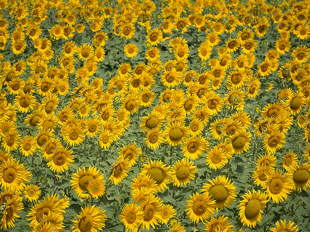 Sunflowers Andalusia - Spain