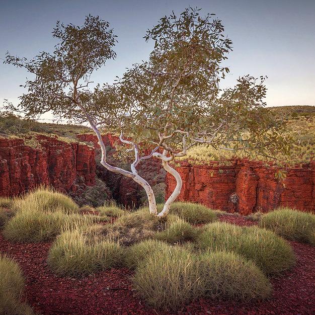 Knox Gorge Gum, Karijini - Western Australia