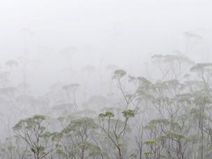 Misty Trees, Mt Field NP - Tasmania