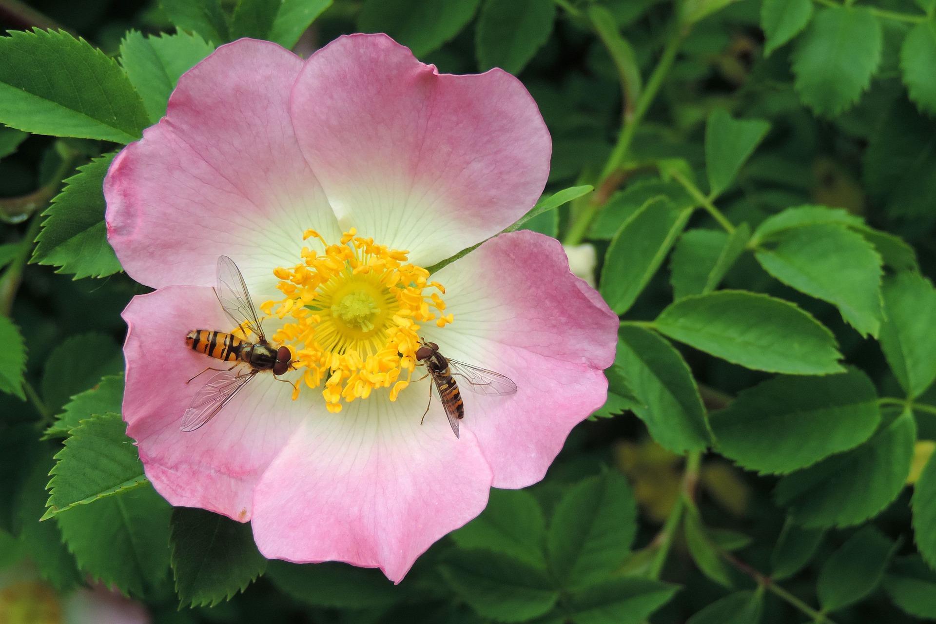 wild-rose-flower-1369223_1920