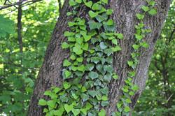 ivy-3419944_1920