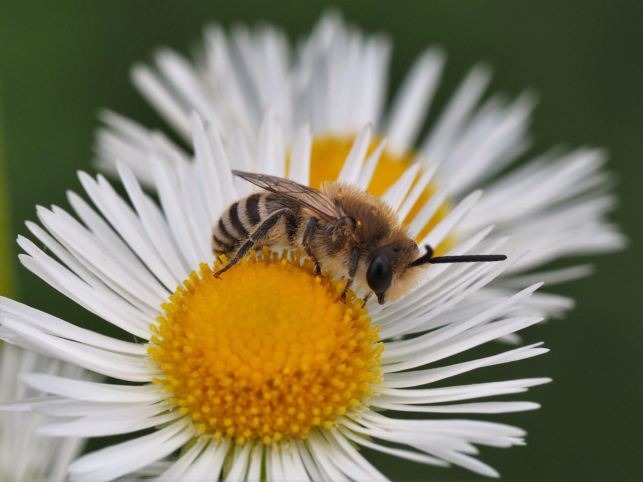 Andrena leucolippa