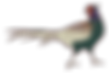 pheasant-1355955_1920.png