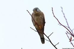 faucon crécerelle mâle