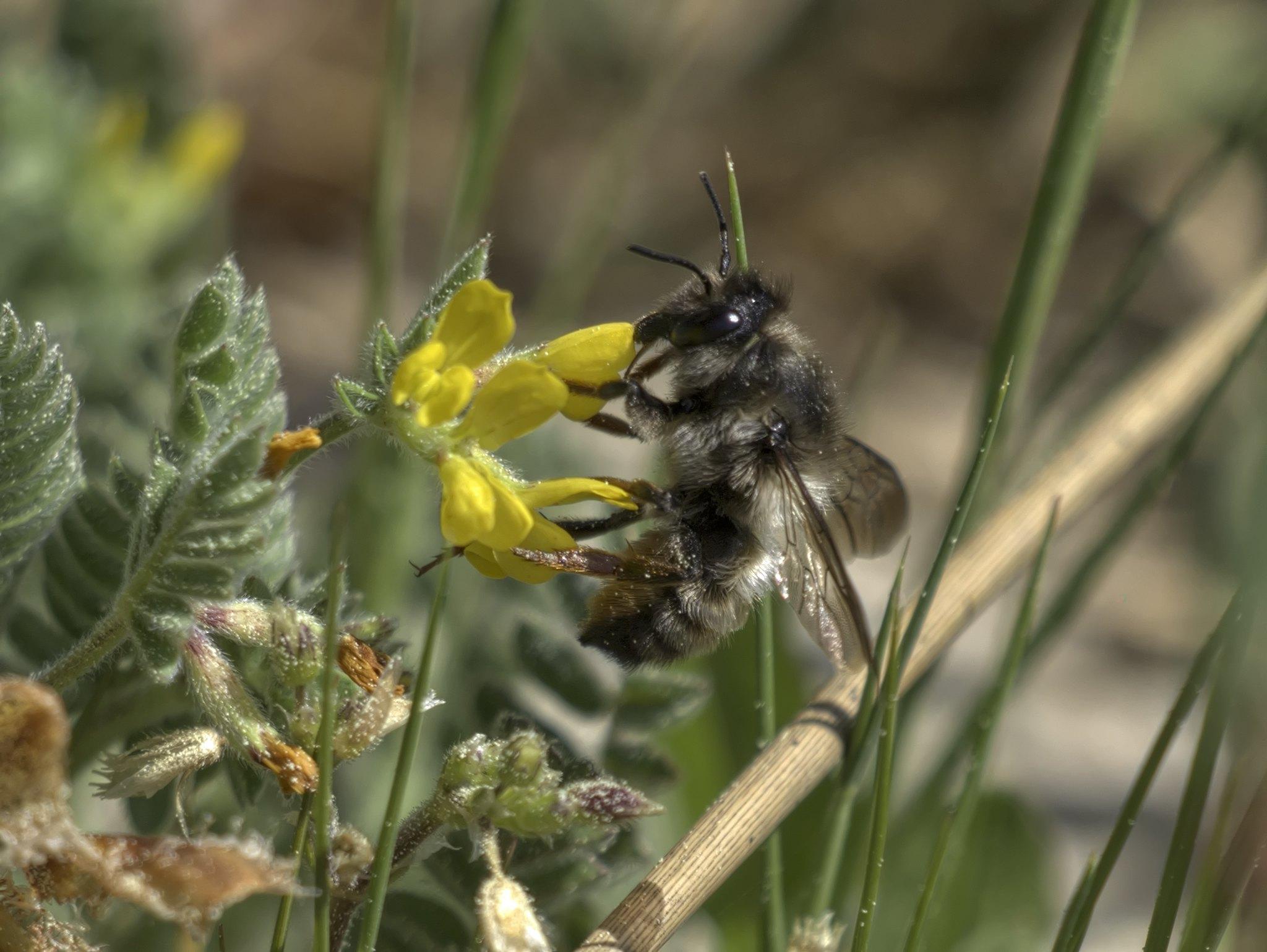 Megachile  pyrenaica f on Ornithopus com