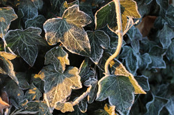 ivy-1886347_1920