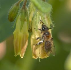 Andrena symphyti f