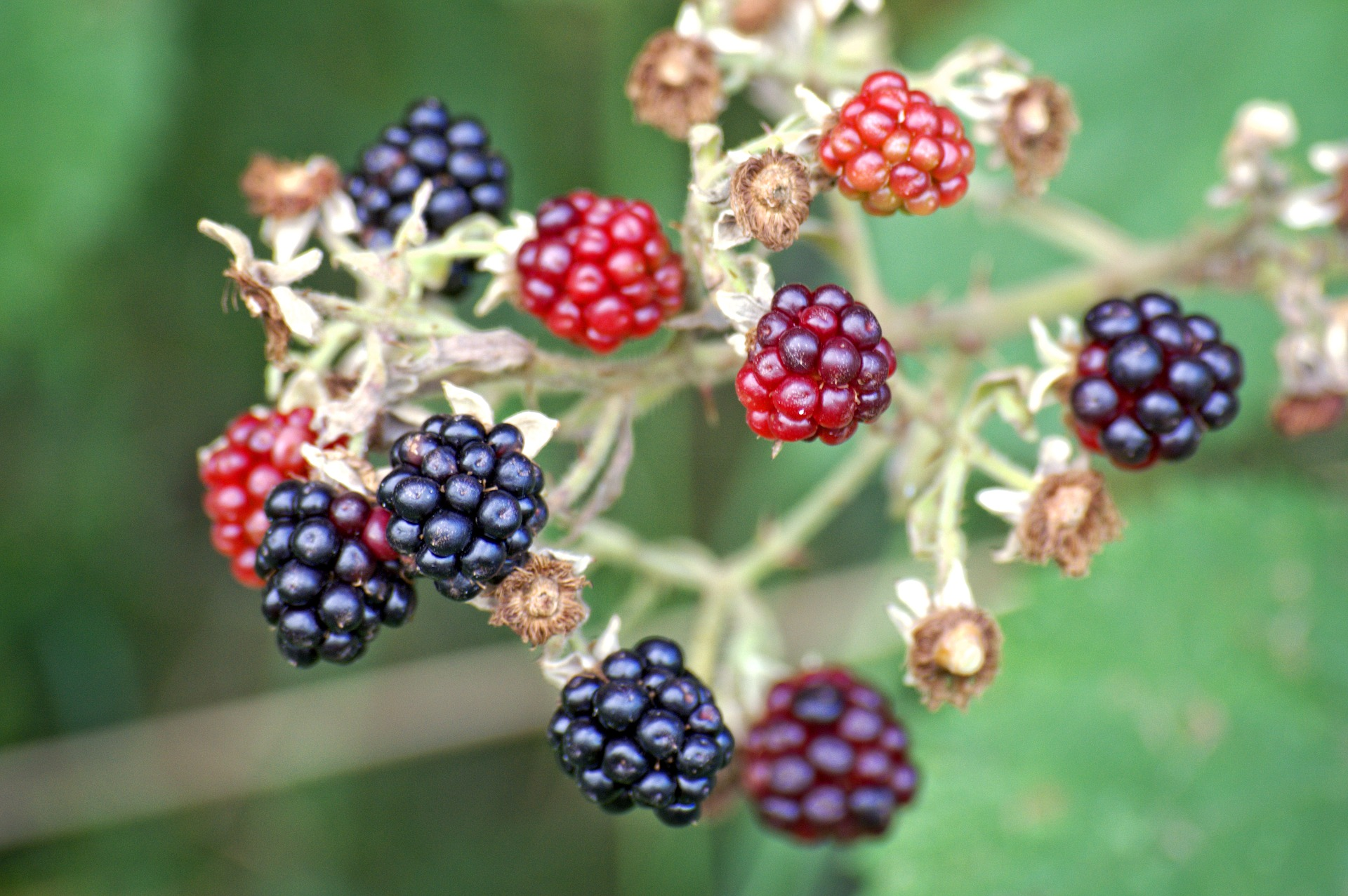 blackberries-1610088_1920